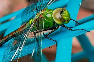 dragonfly-441624_1920